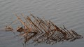 Reflections in water-Dry coconut fronds,reflected