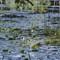Lilies in Massachusetts - Desktop Wallpaper