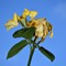 Thus passes the glory of the world...: Wilted rose. Everything passes.