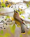 Waxwing having a snack.