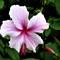 P1020174a-hibiscus