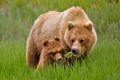 brown bears forage on grass in alaska in june