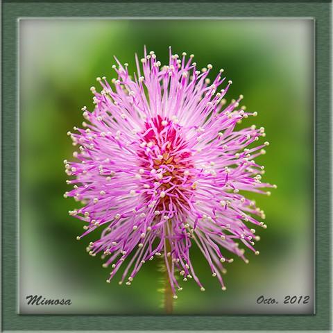 PA010018 P89 Mimosa dp