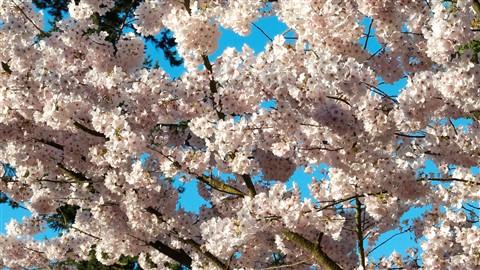 Cherry Blosoms