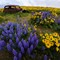Of Lupine & Balsam Root 12x8 sRGB 1282