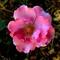 Rose-from-Nikon-Web