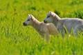 Lovely Little Lambs.