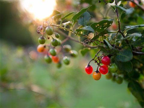 Berries at sunset_sm