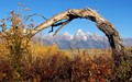 The Grand Teton and the Teton Range, in Wyoming, USA, is framed under the arch of a dead aspen tree.