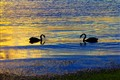 Swans at sunset