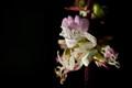 Crab Spider under Basel Flower