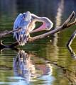 The Pelican Preen