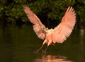 Spoonbill Touch Down