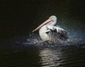 Pelican in rinse mode