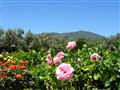 Roses in California