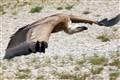 Flying Griffon Vulture