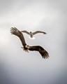 Eagle and a Seagull