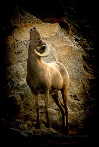 bighorn ram by Pankey