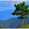 Benguet Pine Tree
