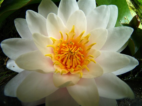 water lily by samyang