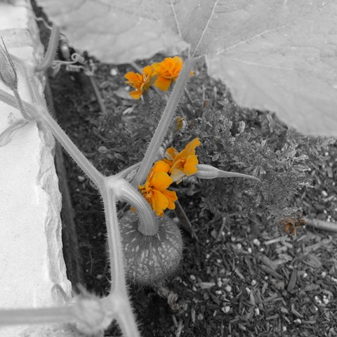 Marigold & Squash