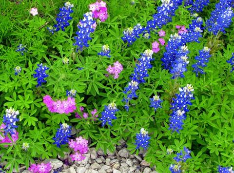 Blue Bonnet & Phlox Wildflowers