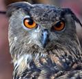 Owl in Houston