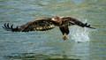 ABD_4593 Bald Eagle