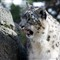 SnowLeopard1600_Zoo_0246