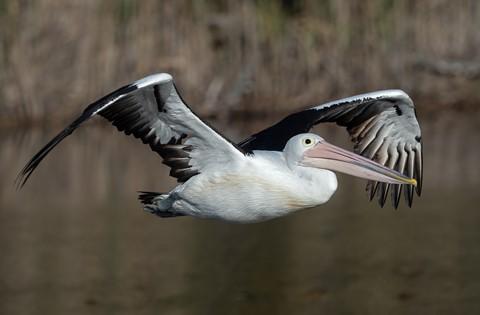 pelican16052020_663v2
