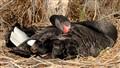 black swan paynesville