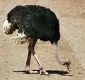 Ostrich, Kénya