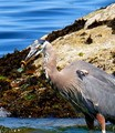 Blue Heron caught a ring