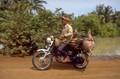 Pig transport in Cambodia 1998
