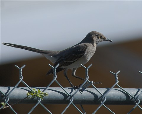 mockingbird-1