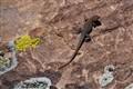 Sideblotched Lizard