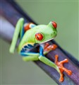 Red-eyed_Tree_Frog