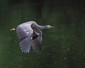 White faced Heron