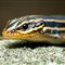 Blue-Tailed-Skink-Portrait-small