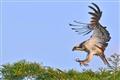 osprey_6478s