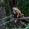 Costa Rica - Iguana 1