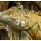 Iguana yellow-6732-Edit