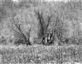 BWWsmswamptree (1 of 1)