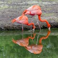 A reflection of flamingos