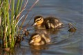 Baby Mallard Ducklings