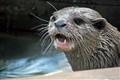 Essex Otter