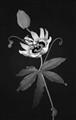 Passion-FlowerBw