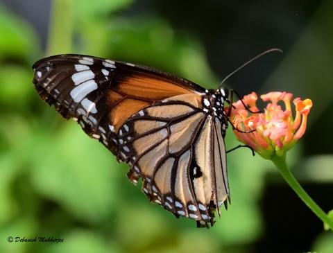 BUTTERFLY - COMMON TIGER (বাঘবল্লা প্রজাপতি)