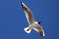 Chroicocephalus ridibundus / Black-headed gull / Mouette rieuse / Pescărușul râzător