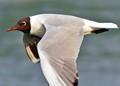 Blackhead Seagull